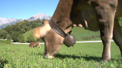 cow 05 Stock Video Footage