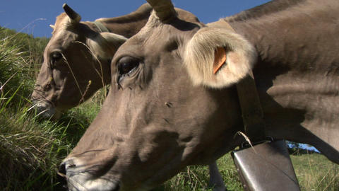 cow 07 Stock Video Footage