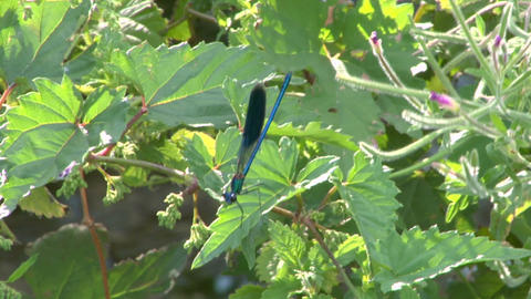 dragonfly 03 Stock Video Footage