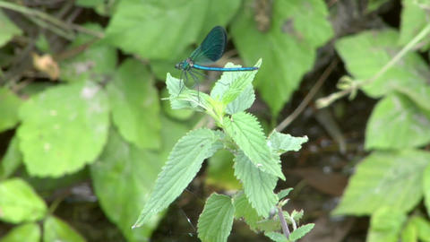 dragonfly 05 Stock Video Footage