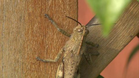 grasshopper 04 Stock Video Footage