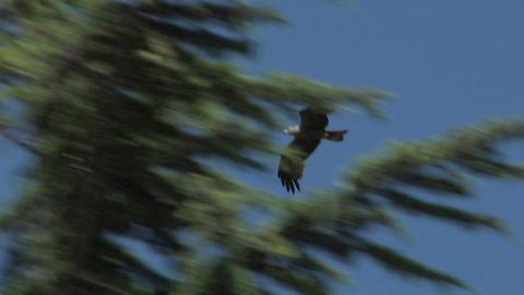 hawk 03 Stock Video Footage