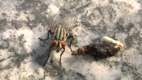 house fly 02 Stock Video Footage