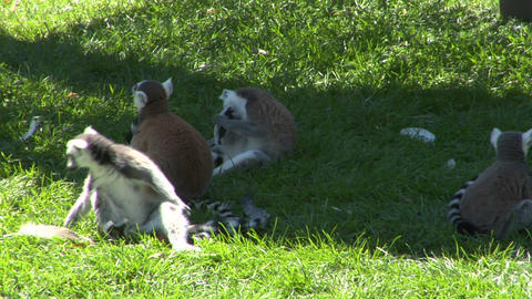 lemur 01 Stock Video Footage