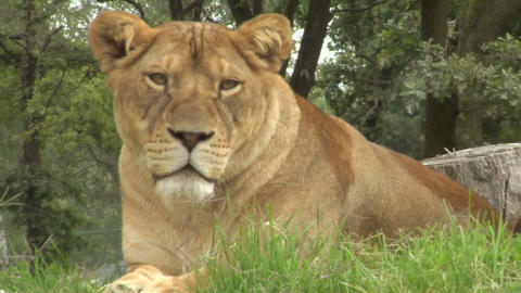 lion 01 Stock Video Footage