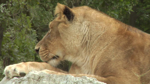 lion 03 Stock Video Footage