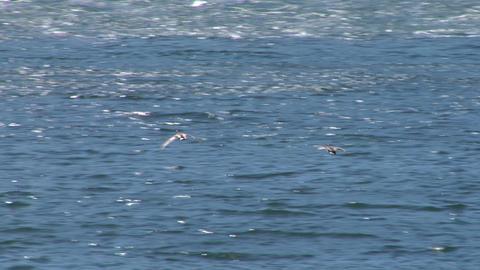 mallard fly 02 Stock Video Footage