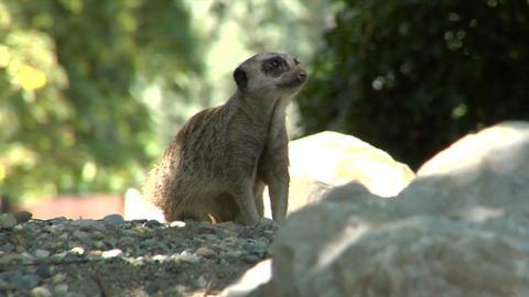 meerkat 01 Stock Video Footage