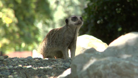 meerkat 01 Stock Video Footage