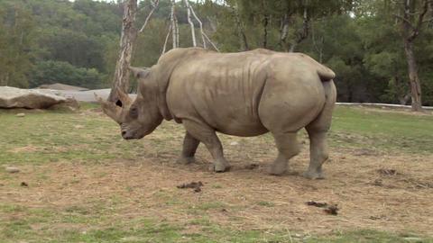 rhinoceros 02 Stock Video Footage