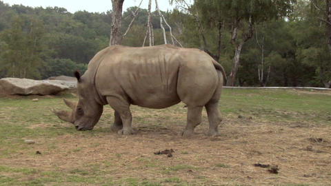 rhinoceros 02 Stock Video Footage