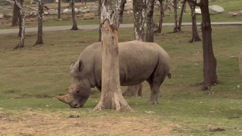rhinoceros 04 Stock Video Footage