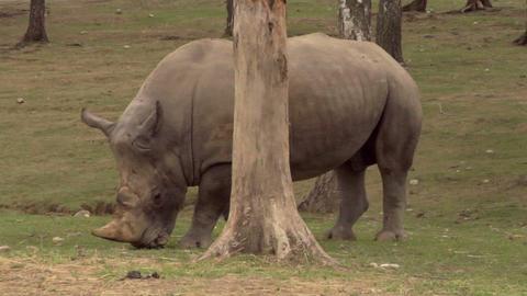 rhinoceros 06 Stock Video Footage