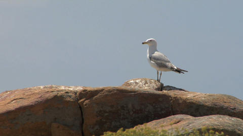seagull 04 Stock Video Footage