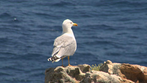 seagull 06 Stock Video Footage