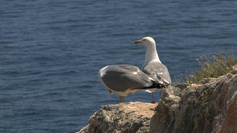 seagull 08 Stock Video Footage