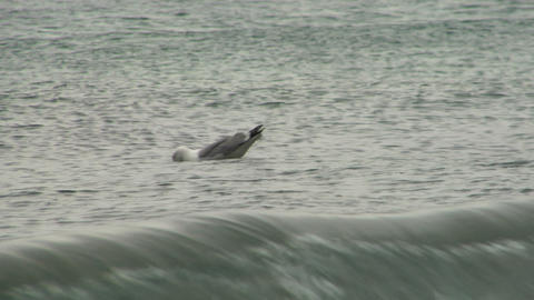 seagull 104 Stock Video Footage