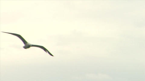 seagull fly 04 Stock Video Footage