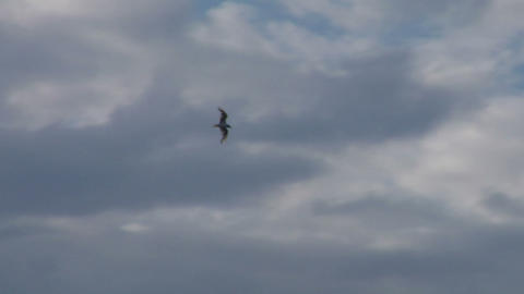 seagull fly 08 Stock Video Footage