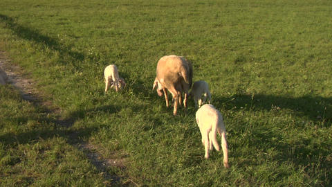 sheep 02 Stock Video Footage