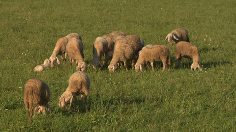 sheep 06 Stock Video Footage