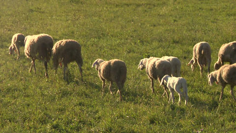 sheep 08 Stock Video Footage
