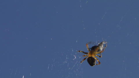 spider 05 x Stock Video Footage