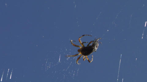 spider 06 x Stock Video Footage