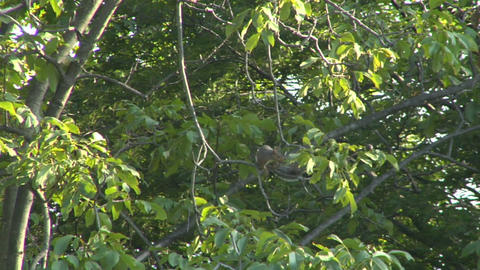 squirrel 02 Stock Video Footage