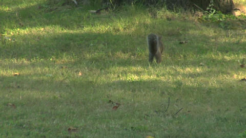 squirrel 04 Stock Video Footage