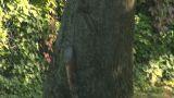 squirrel 04 Footage