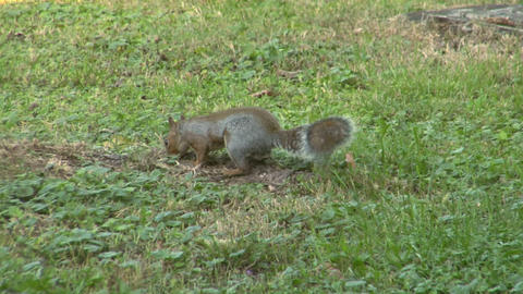 squirrel 06 Stock Video Footage