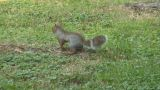 Squirrel 06 stock footage