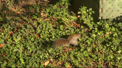 squirrel 08 Stock Video Footage