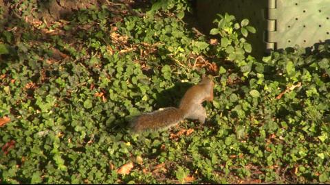 squirrel 08 Footage