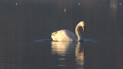 swan 02 Stock Video Footage