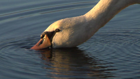 swan 04 Stock Video Footage