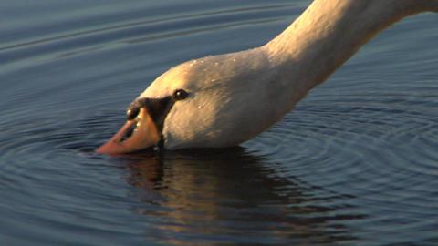 swan 04 Stock Video Footage