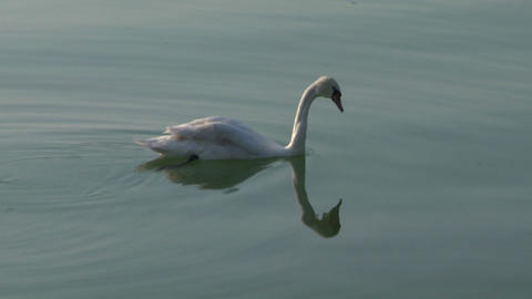 swan 21 Stock Video Footage