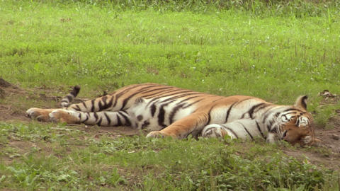 tiger 01 Stock Video Footage