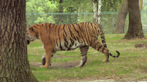 tiger 03 Stock Video Footage