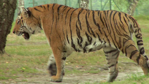 tiger 05 Stock Video Footage