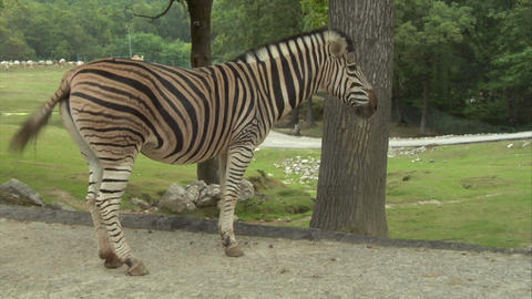 zebra 02 Stock Video Footage
