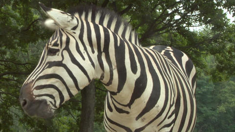 zebra 04 Stock Video Footage