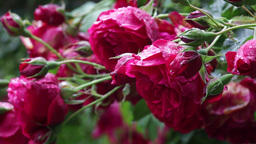 Rose flowers in the rain 01 Footage