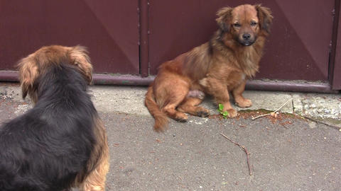 Two reddish bored dogs on the street 01 Footage