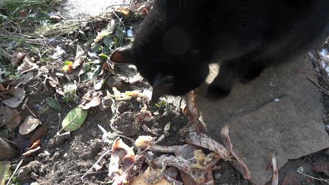 Cat Eats Bones And Flesh 01 stock footage