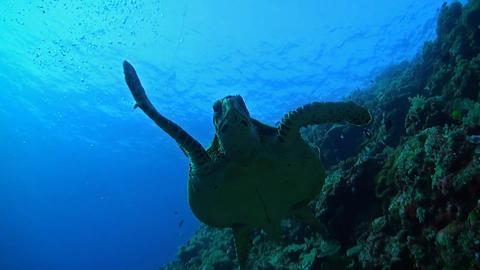 Hawksbill Turtle on a coral reef ภาพวิดีโอ