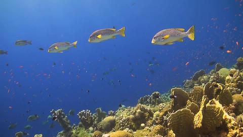 Oriental Sweetlips on a coral reef Footage