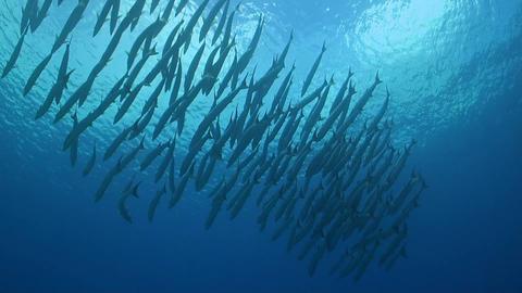Blackfin Barracudas on a coral reef ภาพวิดีโอ